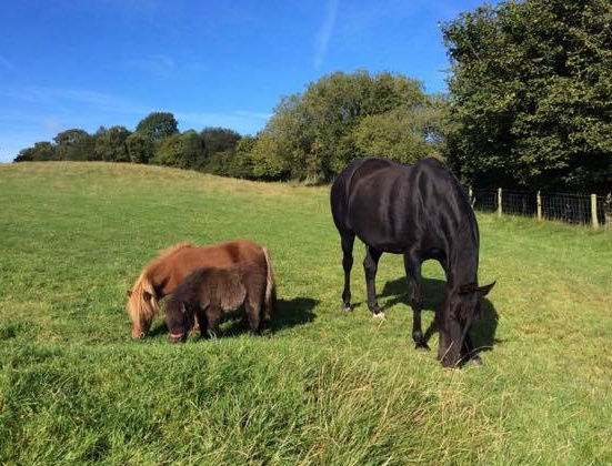 Miniature Shetlands and Sport Horse Stud in Wales and UK